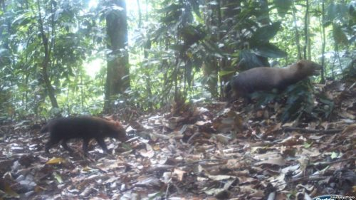 "Super cute and incredibly rare ""bush dogs"" caught on camera"